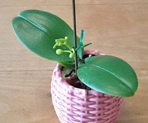 ミニ胡蝶蘭-花芽