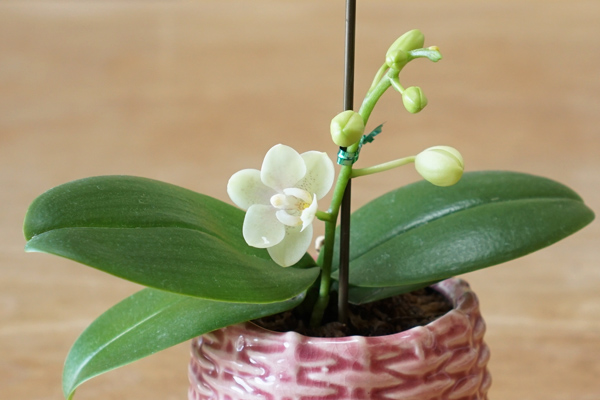 ミニ胡蝶蘭-開花