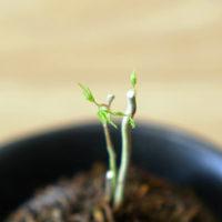 苔玉-もみじの芽