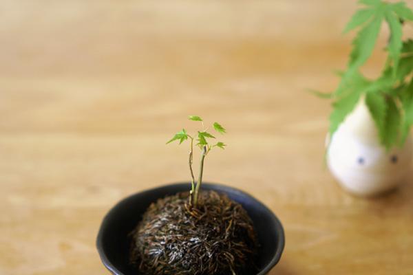 苔玉-紅葉の赤ちゃん