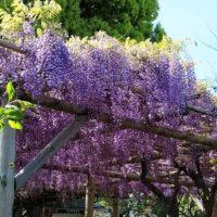 藤の花 - 亀戸天神