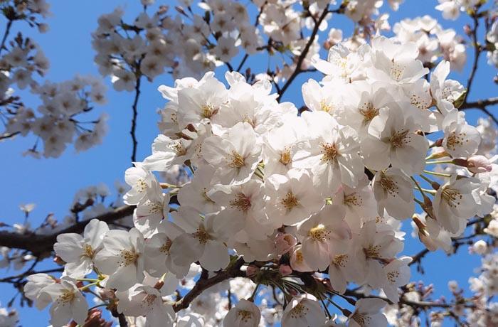 桜-染井吉野