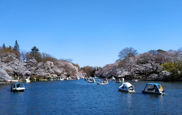 桜 - 井の頭公園