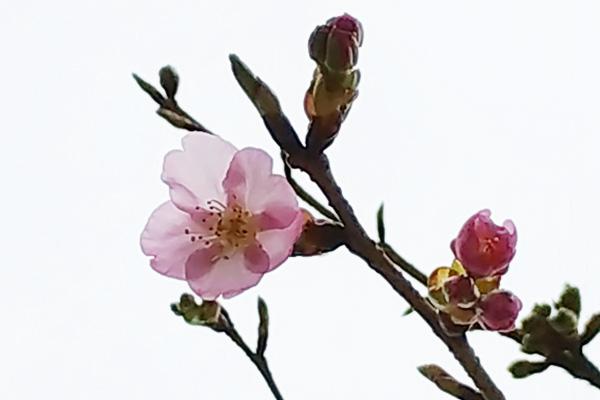 さくら-ピンクの桜