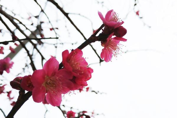 梅の花 - 紅梅