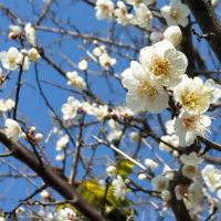 梅の花 - 白梅