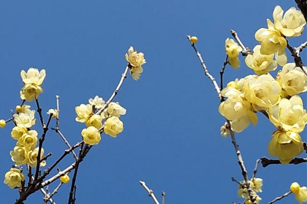 梅の花 - 蝋梅