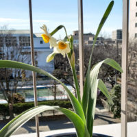水仙の花-日本水仙